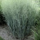 Panicum virgatum Heavy Metal 72 plants Switch Grasses wholesale Zone 4-10