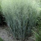 Panicum virgatum Heavy Metal 38 plants Switch Grasses wholesale Zone 4-10