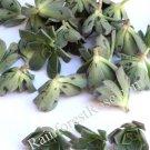 Aeonium Kiwi verde small cutting succulent plant