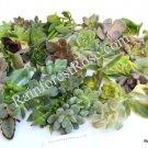 Crassula ovata Hobbit small cutting succulent plant