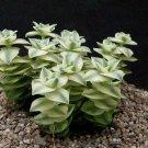 Crassula perforata variegata  small cutting succulent plant