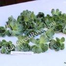 Echeveria Elegans small cutting succulent plant