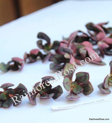 Echeveria nodulosa small cutting succulent plant