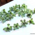 Echeveria Pulidonis small cutting succulent plant