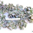 Echeveria Ruyoni (Topsy Turvy) small cutting succulent plant