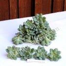 Sedum clavatum Aurora Blue small cutting succulent plant