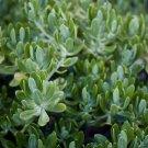 Sedum praealtum small cutting succulent plant