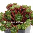 50 Sempervivum Cinnamon Starburst plants cactus succulents hens and chicks Zone 3-11