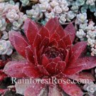 72 Sempervivum Cherry Berry plants cactus succulents hens and chicks Zone 3-11