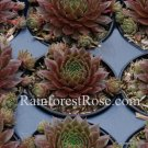 50 Sempervivum Bing Cherry plants cactus succulents hens and chicks Zone 3-11