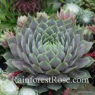 50 Sempervivum Berry Blues plants cactus succulents hens and chicks Zone 3-11