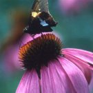 Echinacea purpurea 72 perennial plants PLUG TRAY Coneflower Zone 3-9