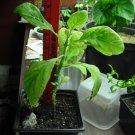 Salvia Live Plant