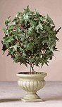 Ivy Topiary in Alabastrite Pot
