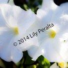 Dreamy White Belles