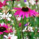 PURPLE CONEFLOWER - PURPLE RAIN
