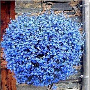 BLUE FLAX - OCEAN BREEZE