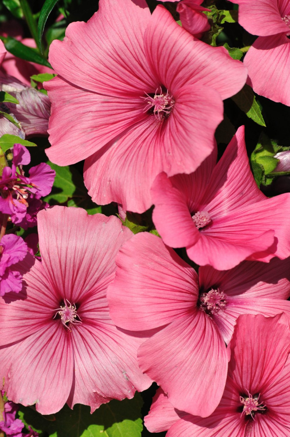 ROSE MALLOW PINK MIX