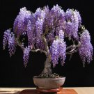 BONSAI - Chinese Wisteria