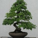 BONSAI - English Hawthorn