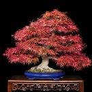BONSAI - Japanese Red Maple
