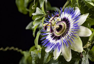 BLUE PASSION FLOWER