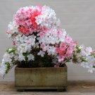 BONSAI - Rhododendron Simsii