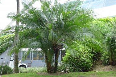 PALMS - Cliff Date Palm - Phoenix Rupicola
