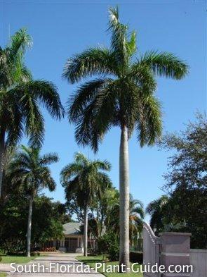 PALMS - Royal Palm - Roystonea Regia