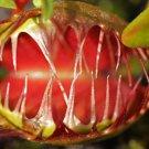CARNIVOROUS - Venus Flytrap - Dionaea Muscipula - 'Cupped Trap'