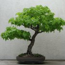 BONSAI - Sweet Gum
