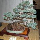 BONSAI - Colorado Spruce