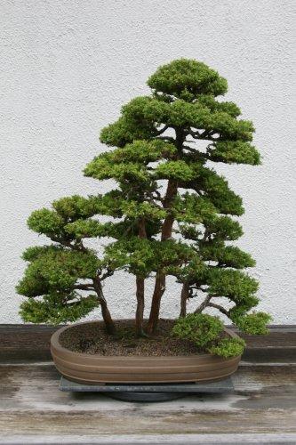BONSAI - Japanese Cedar