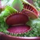 CARNIVOROUS - Venus Flytrap - Dionaea muscipula - 'Red Giant'