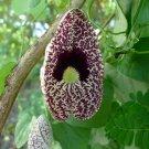 CALICO FLOWER