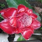 RED TORCH GINGER DWARF