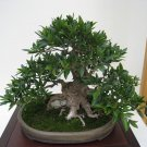 BONSAI - Weeping Chinese Banyan