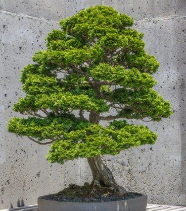 BONSAI - Hinoki False Cypress