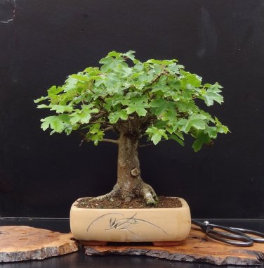 BONSAI - Hedge Maple