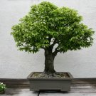 BONSAI - Grey-Bark Elm