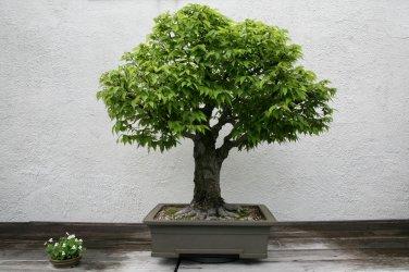 BONSAI - Grey-Bark Elm