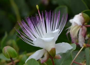 FLINDERS ROSE - Capparis spinosa