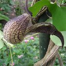 GAPING DUTCHMAN'S PIPE