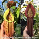 Nepenthes [kampotiana x (veitchii x maxima)] x Miranda