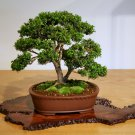 BONSAI - European Box
