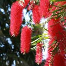 WEEPING BOTTLE BRUSH - Callistemon Viminalis