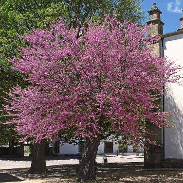 JUDAS TREE - Cercis Siliquastrum