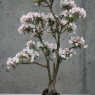 BONSAI - Mountain Laurel