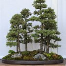 BONSAI - Black Spruce