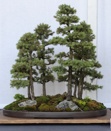 BONSAI - Black Spruce